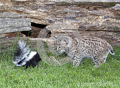Close encounter - skunk vs bobcat