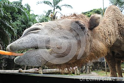 A close look of a camel chewing carrot in Taman Safari, Bogor, Indonesia