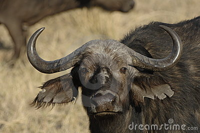 Close up of African Buffalo