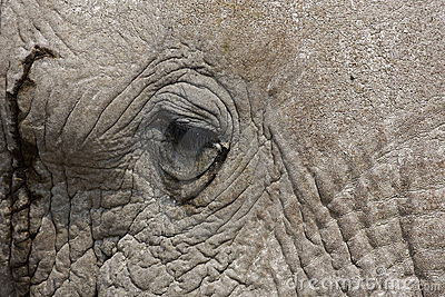 Close-up of an African Elephant face and eye