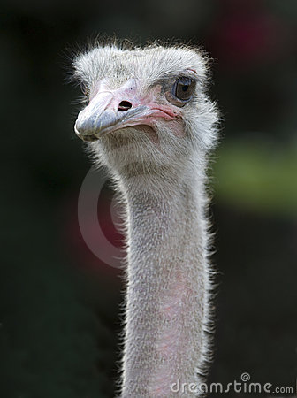 Close up of african ostrich
