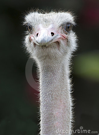 Close up of african ostrich showing eyes and beak