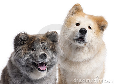 Close-up of Akita Inu