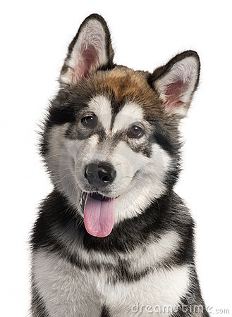Close-up of Alaskan Malamute puppy