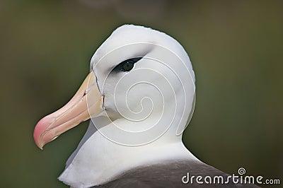 Close Up Of An Albatross