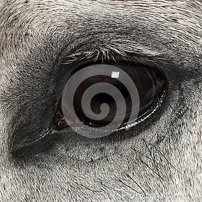 Close-up of an Andalusian eye, 7 years old, also known as the Pure Spanish Horse