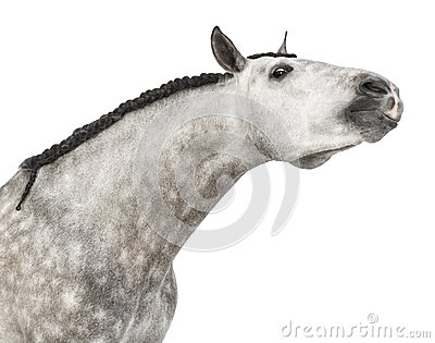 Close-up of an Andalusian head, 7 years old, stretching its neck, also known as the Pure Spanish Horse or PRE