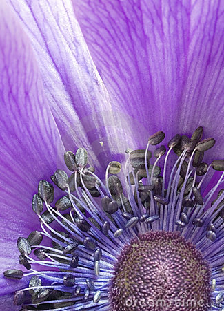 Free Close-up Anemone Stock Photo - 7953610
