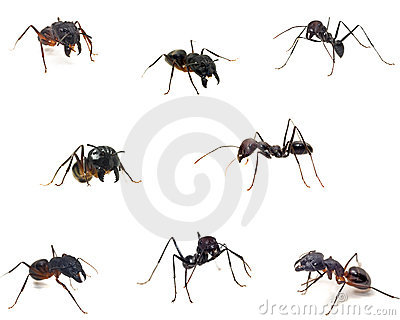 Close up of ants isolated on white.
