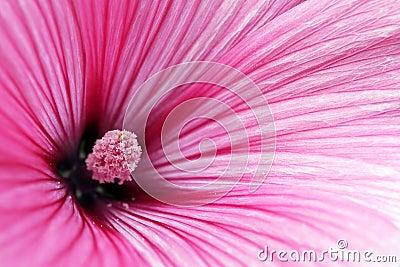 Close up anual da flor do Mallow