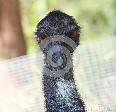 Close up Australian emu