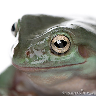Close-up of Australian Green Tree Frog