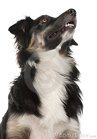 Close-up Of Australian Shepherd Dog, 1 Year Old Stock Image - Image: 20377371