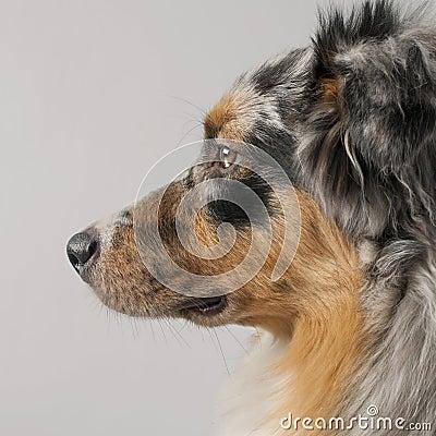 Close-up of Australian Shepherd dog, 10 months