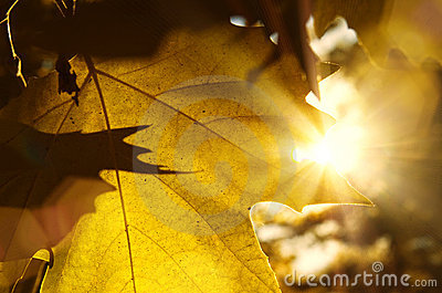 Close up of a Autumn leaves texture and sun rays