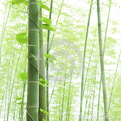 Close-up bamboo and Climbing vine in asian forest