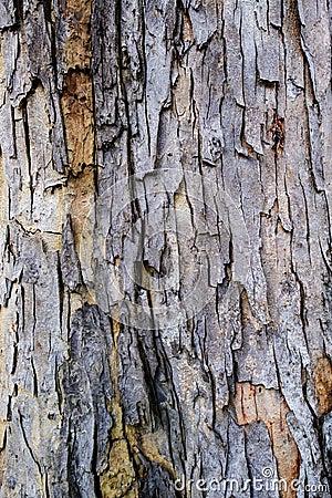 Free Close Up Bark Of Tree Trunk Called Baywood Tree, Mahogani, Beaut Stock Photos - 102019663