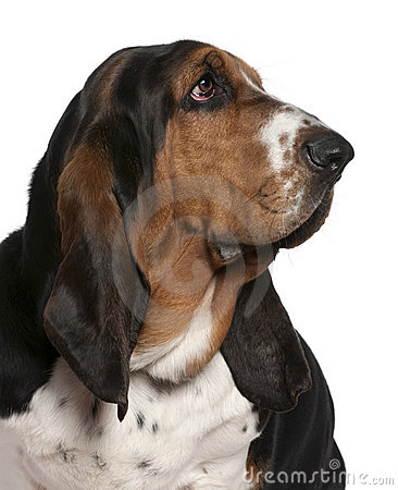 Close-up of Basset hound, 2 years old