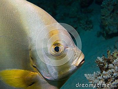 Close up Bat fish Red Sea Dive Egypt