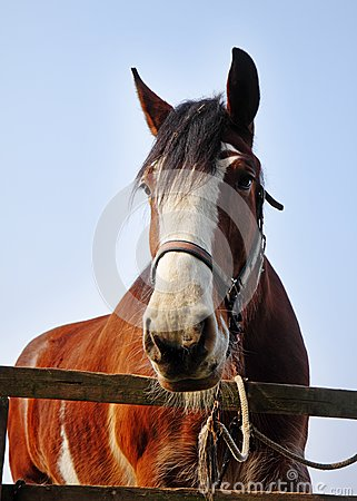 Close up of a Bay Stallion
