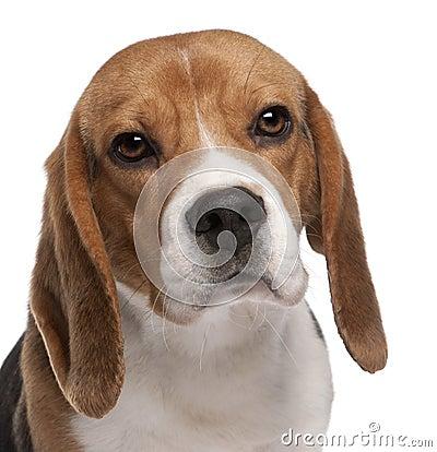 Close-up of Beagle, 1 year old