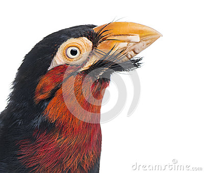 Close-up of a Bearded Barbet