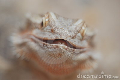 Close Up of a Bearded Dragon