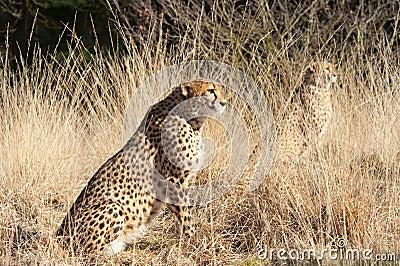 Close-up of a beautiful cheetah