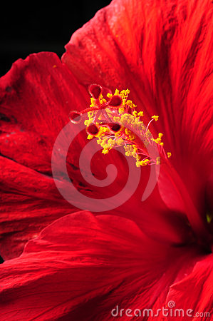 Close up beautiful red hibiscus flower