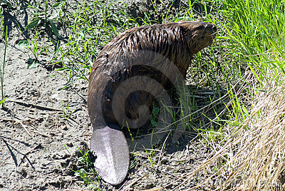 Close-up Beaver