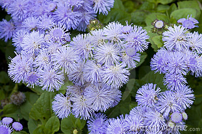 Close-up of a bed of Ageratum