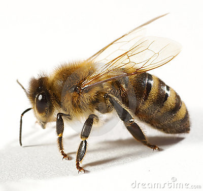 Close up of bee