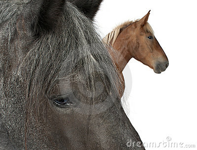 Close-up of Belgian horse