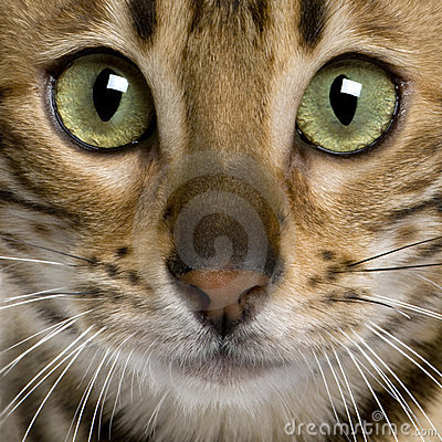 Close up of a Bengal kitten (7 months)