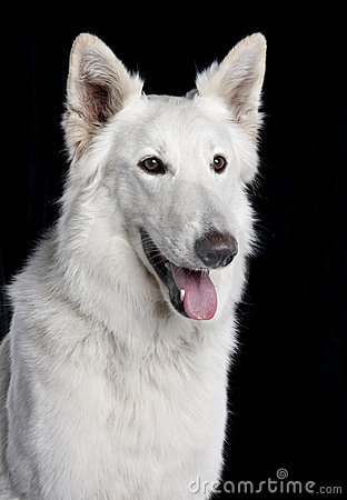 Close-up of Berger Blanc Suisse
