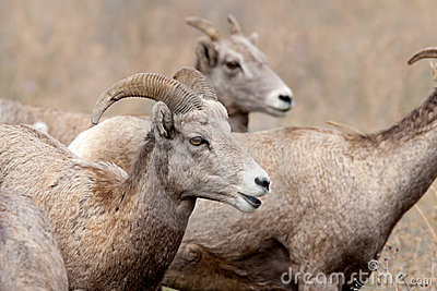 Close up of bighorn sheep.