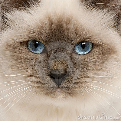 Close-up of Birman cat s face
