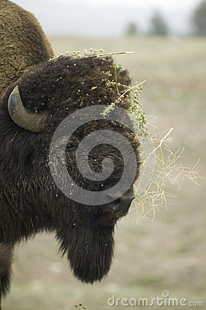 Close-up of Bison