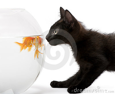 Close-up of Black kitten looking at Goldfish