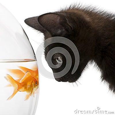 Close-up of Black kitten looking at Goldfish