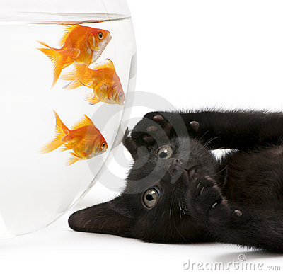 Close-up of Black kitten looking up at Goldfish