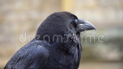 Close up black raven on fence of tower of London. Crow in London. Raven at the Tower of London City. Closeup portrait of sitting black raven in the Tower of stock footage
