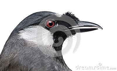 Close-up of a Black-throated Laughingthrush - Garrulax chinensis