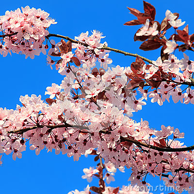 Close up of blooming cherry