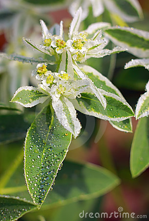 Close-up of blooming Euphorbia marginata