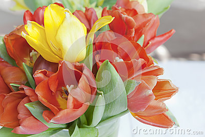 Close up blossom and yellow and red tulip flowers in the gardenm and yellow
