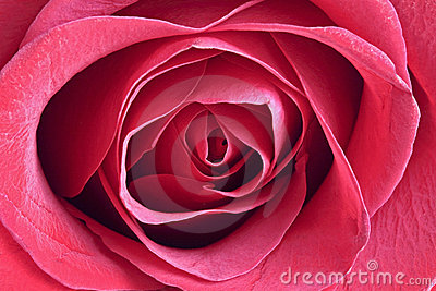 Close up from a blossoming red rose