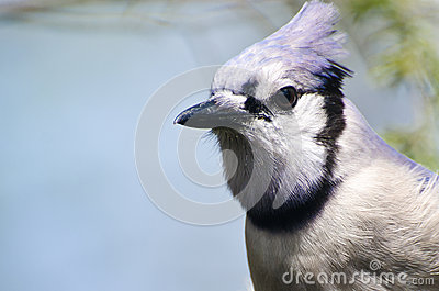 Close Up of a Blue Jay