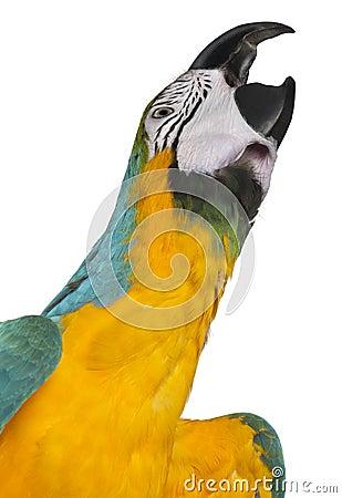 Close-up of Blue-and-Yellow Macaw, Ara ararauna