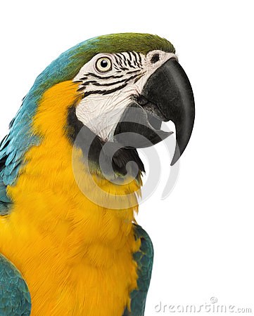 Close-up of a Blue-and-yellow Macaw, Ara ararauna, 30 years old
